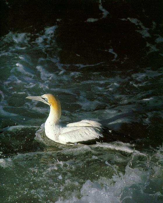 Cape Gannet <!--아프리카가넷--> floating; Image ONLY