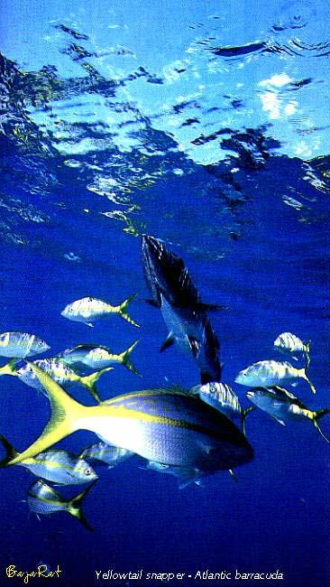 Great Barracuda (Sphyraena barracuda) <!-- 큰꼬치고기 --> / Yellowtail Snapper; Image ONLY