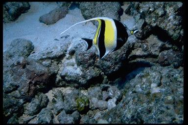 Moorish Idol <!--깃대돔-->; Image ONLY