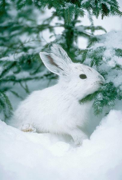 animals white rabbit snow - photo #5