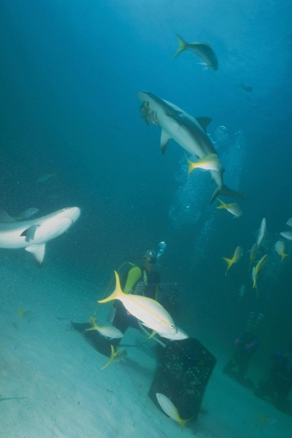 Diver with Shark <!--상어-->; Image ONLY