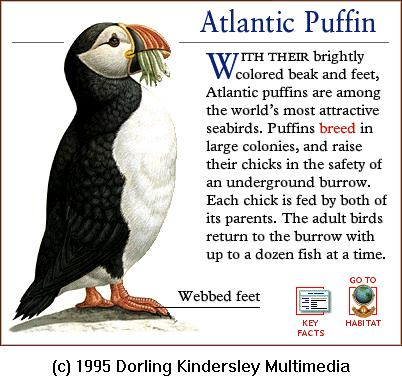 Atlantic Puffin (Fratercula arctica) <!--대서양퍼핀, 퍼핀-->; Image ONLY