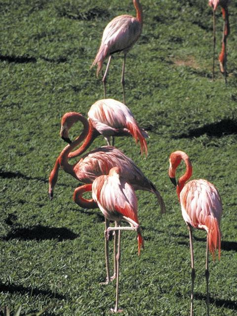 Flamingo <!--홍학--> (Phoenicopterus sp.); Image ONLY