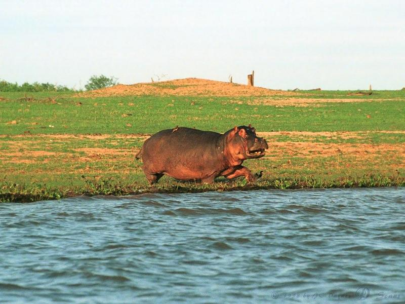 River Hippo (Hippopotamus amphibius)<!--하마-->; DISPLAY FULL IMAGE.