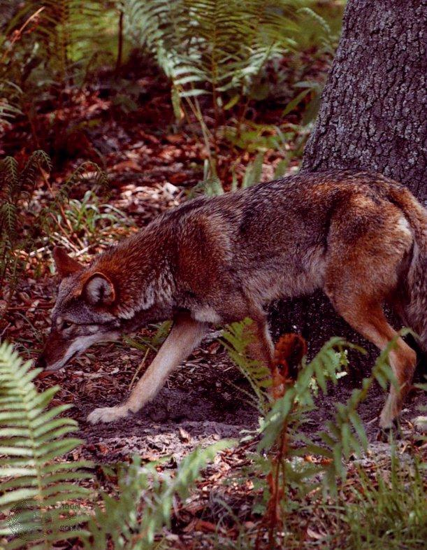 Red Wolf (Canis rufus)<!--붉은늑대-->; Image ONLY