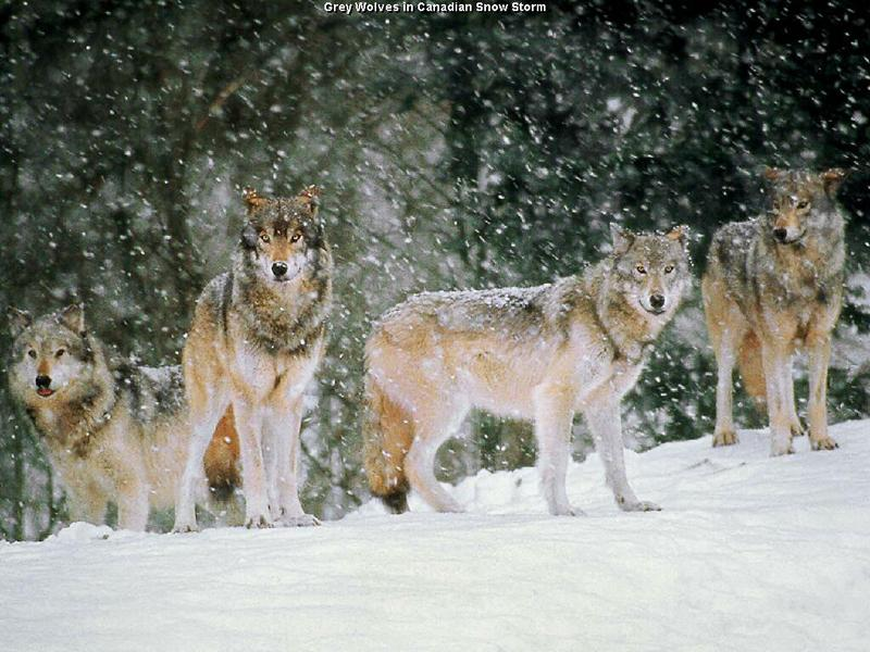Do the Oldest and Weakest Wolves Really Lead the Pack