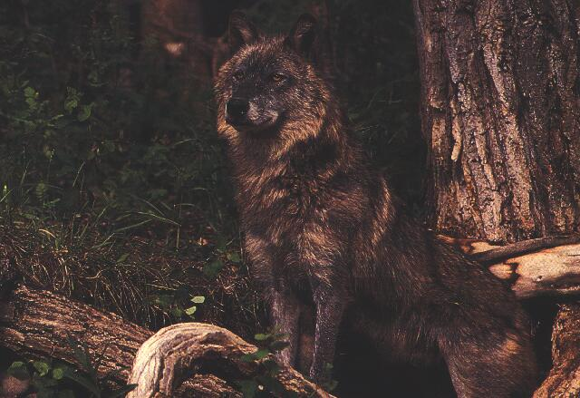 Gray wolf canis lufus black wolf black wolf sciox Images