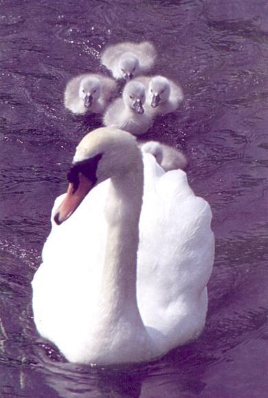 dh Swan-Babies.JPG