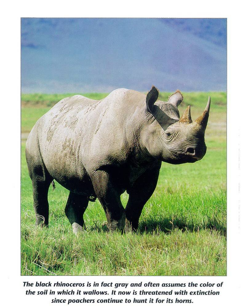 Black Rhinoceros (Diceros bicornis) <!--검정코뿔소-->; DISPLAY FULL IMAGE.