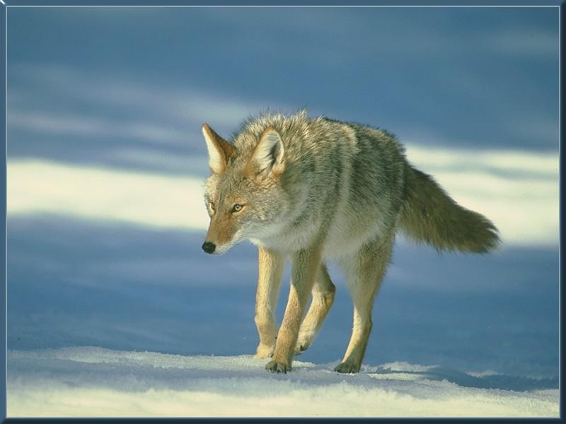 coyote 01-Walking on snow.jpg