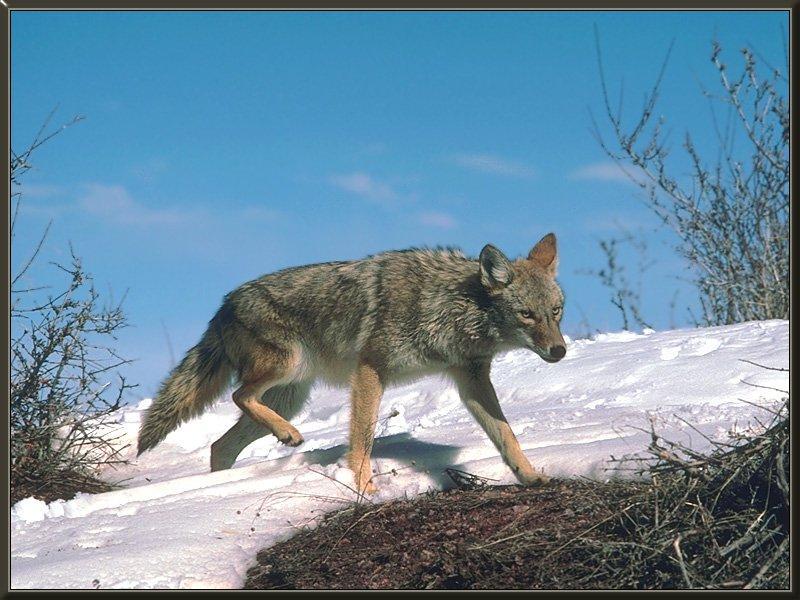 coyote 02-Run-SnowHill.jpg