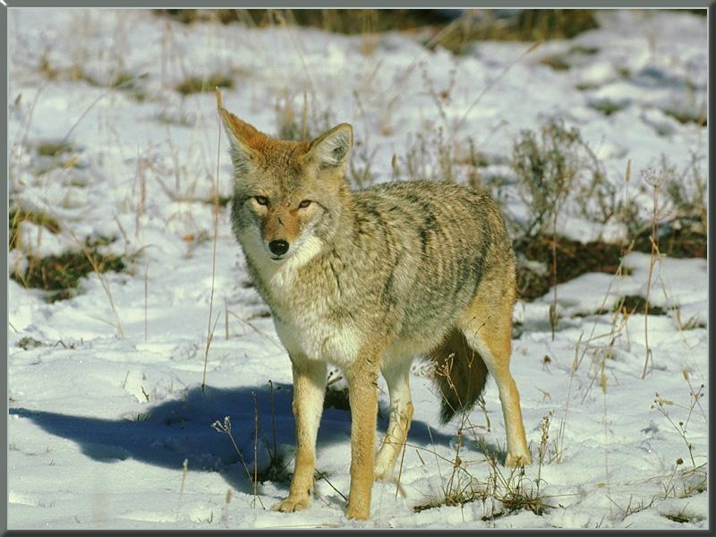 coyote 03-Standing on snow field.jpg
