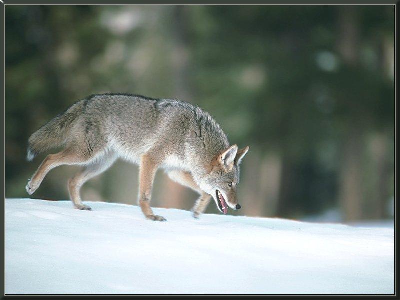 coyote 07-Tired Run on Snow.jpg