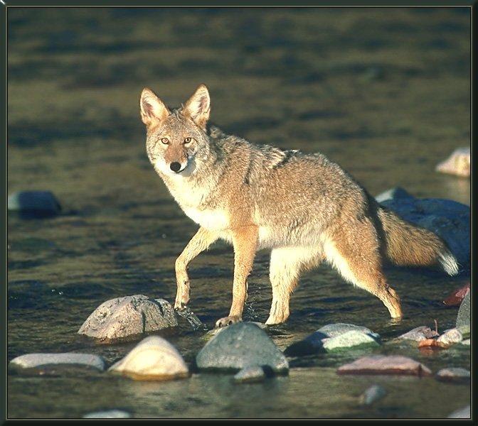 coyote 10-Corssing Stream.jpg