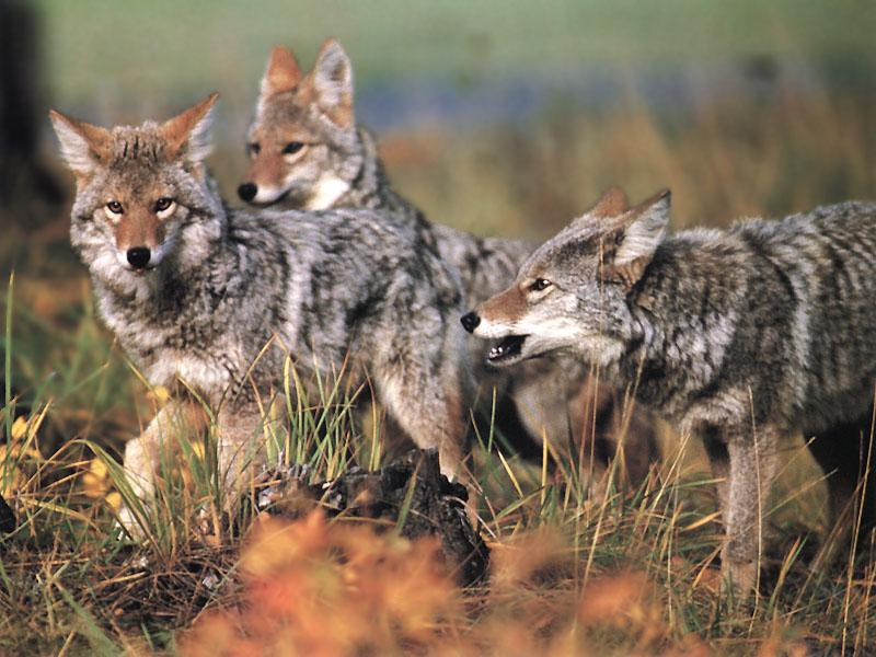 Coyote (Canis latrans) <!--코요테--> : coyotes pack; Image ONLY