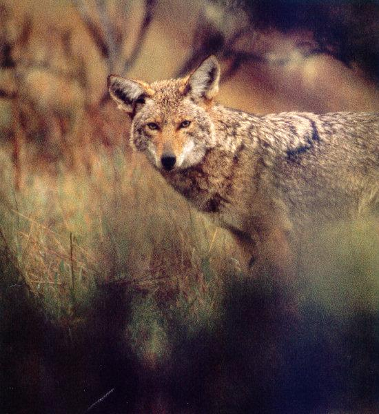 Coyote (Canis latrans) <!--코요테-->; Image ONLY