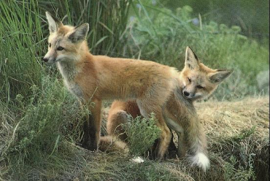Red Fox (Vulpes vulpes)<!--붉은여우--> pair; Image ONLY