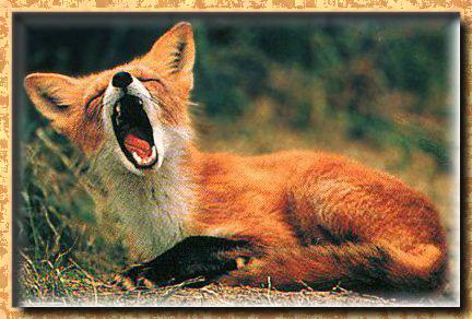 Red Fox (Vulpes vulpes)<!--붉은여우--> big yawn; Image ONLY