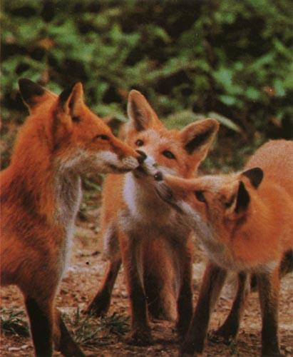 Red Foxes (Vulpes vulpes)<!--붉은여우--> three pups; Image ONLY