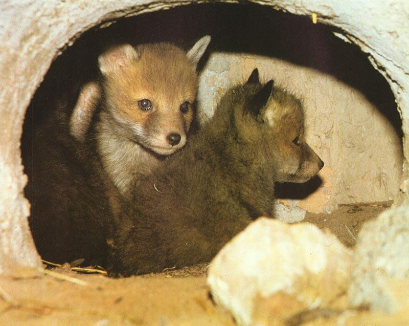 Red Foxes (Vulpes vulpes)<!--붉은여우--> pups; Image ONLY