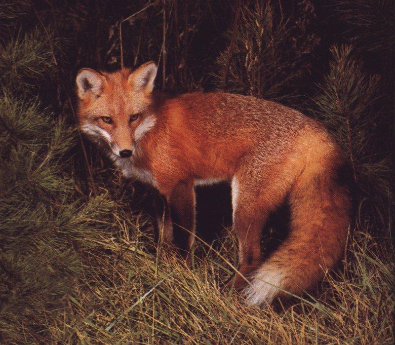 Red Fox (Vulpes vulpes)<!--붉은여우-->; Image ONLY