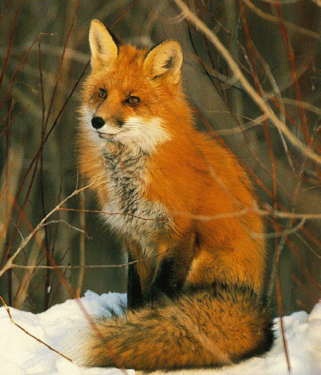 Red Fox (Vulpes vulpes){!--붉은여우-->; Image ONLY