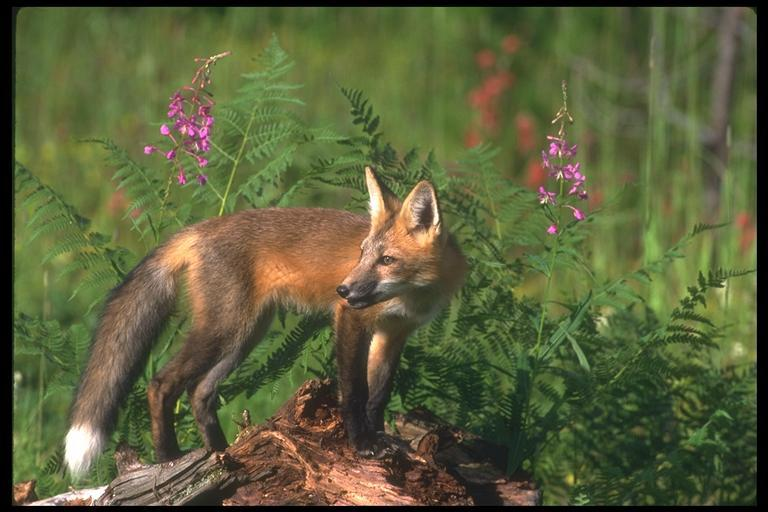 fox wiki Holsted piger