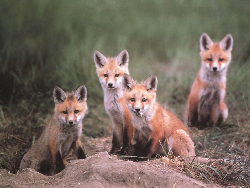 Red Fox Pups Related K...