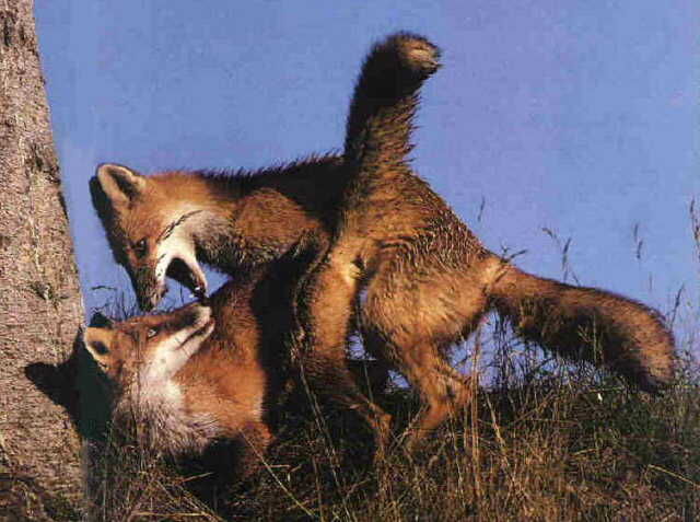 Gray Fox (Urocyon cinereoargenteus) <!--회색여우--> mating pair; Image ONLY