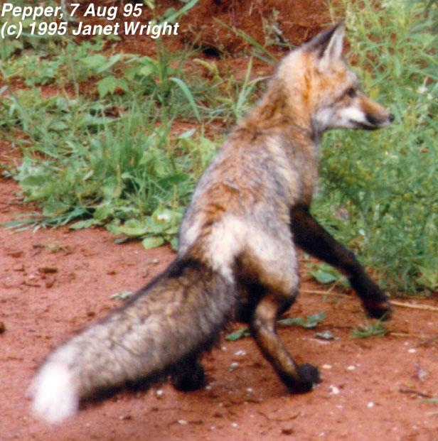Red Fox (Vulpes vulpes)<!--붉은여우--> by Janet Wright; Image ONLY