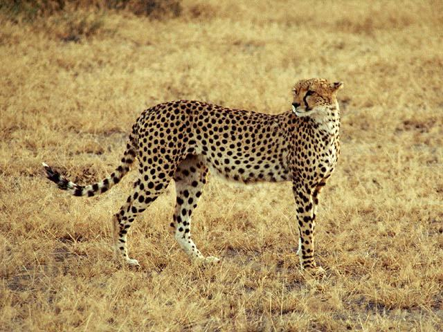 Cheetah (Acinonyx jubatus)<!--치타-->; Image ONLY