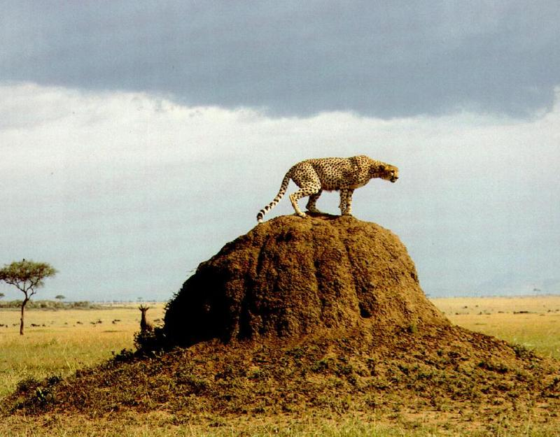 Cheetah (Acinonyx jubatus)<!--치타--> on termite mound; DISPLAY FULL IMAGE.