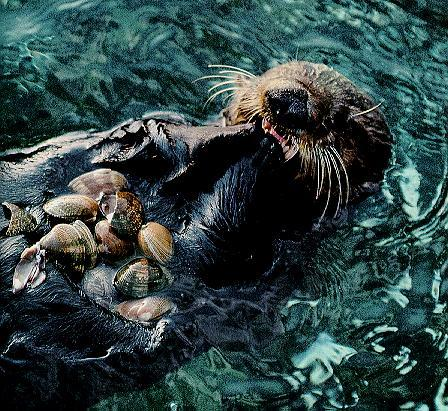 Sea Otter (Enhydra lutris)<!--해달/바다수달--> eating shellfish; Image ONLY