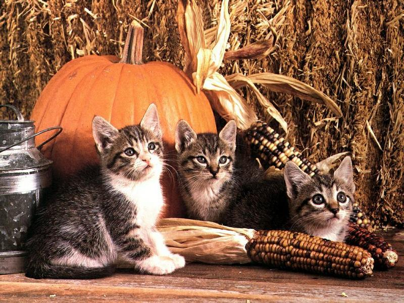 Ouriel - Chat - Kittens<!--새끼/아기 고양이--> harvest; DISPLAY FULL IMAGE.