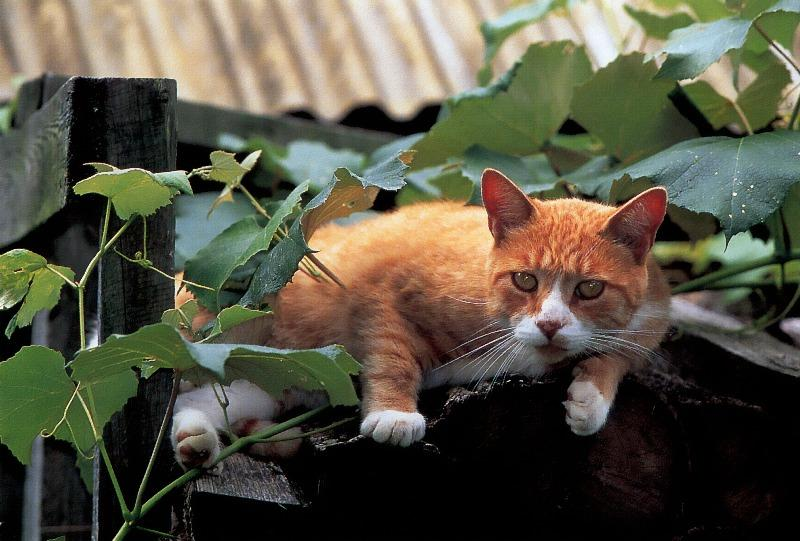 Domestic Cat<!--고양이--> on fence; Image ONLY