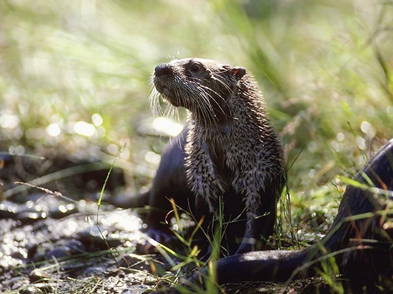 North American River Otter (Lontra canadensis){!--북미수달-->; Image ONLY