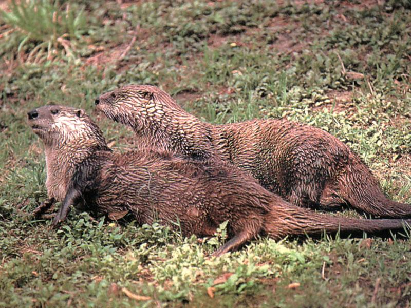 North American River Otter (Lontra canadensis){!--북미수달-->: otters on grass; DISPLAY FULL IMAGE.