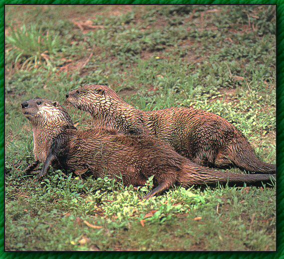 North American River Otter (Lontra canadensis){!--북미수달, otters--> pair on grass; Image ONLY