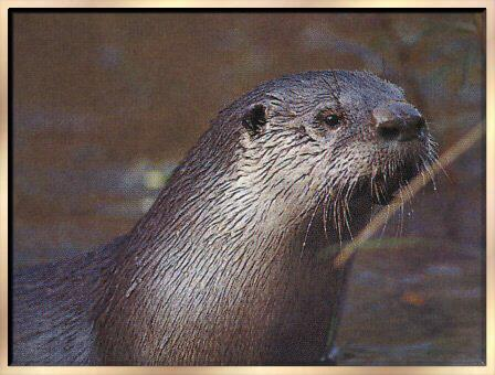 North American River Otter (Lontra canadensis)<!--북미수달--> face; Image ONLY