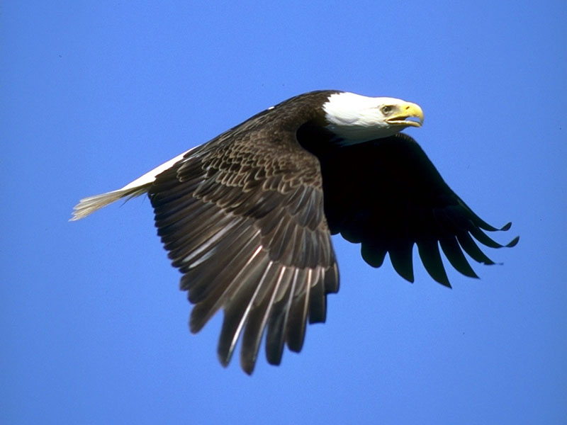 173000-Bald Eagle in flight.jpg