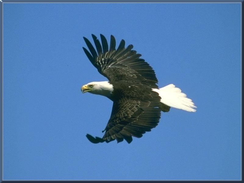 Bald Eagle 07-In Flight.jpg