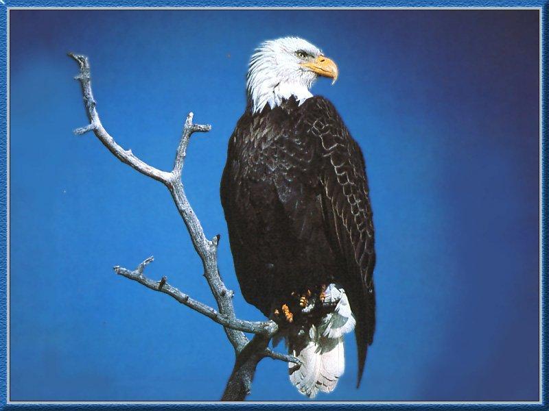 Bald Eagle 12-On Old Tree.jpg