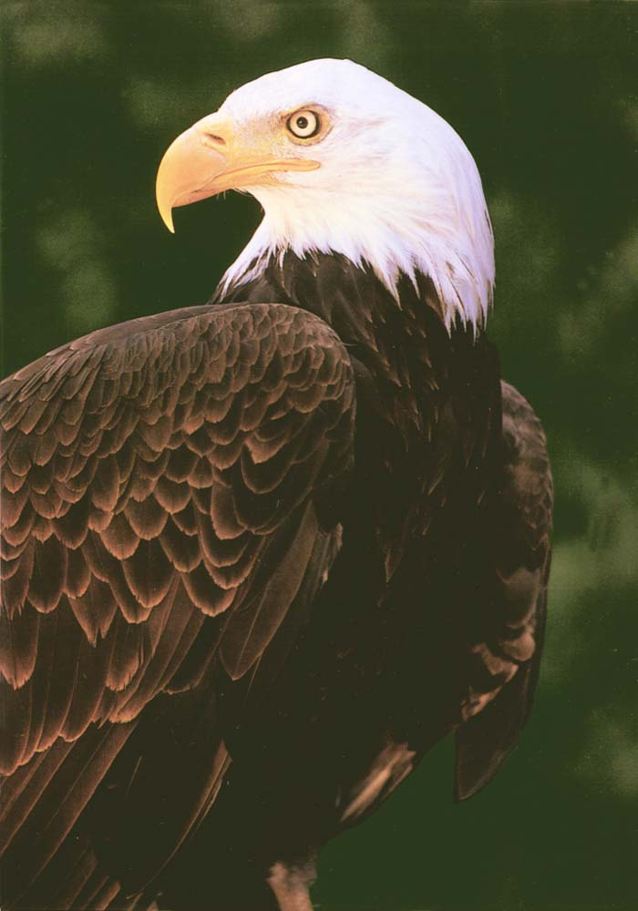Bald Eagle (Haliaeetus leucocephalus)<!--흰머리수리-->; Image ONLY