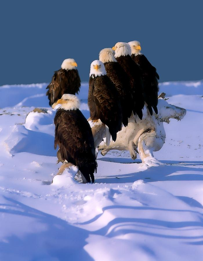 Bald Eagle (Haliaeetus leucocephalus)<!--흰머리수리--> flock; Image ONLY