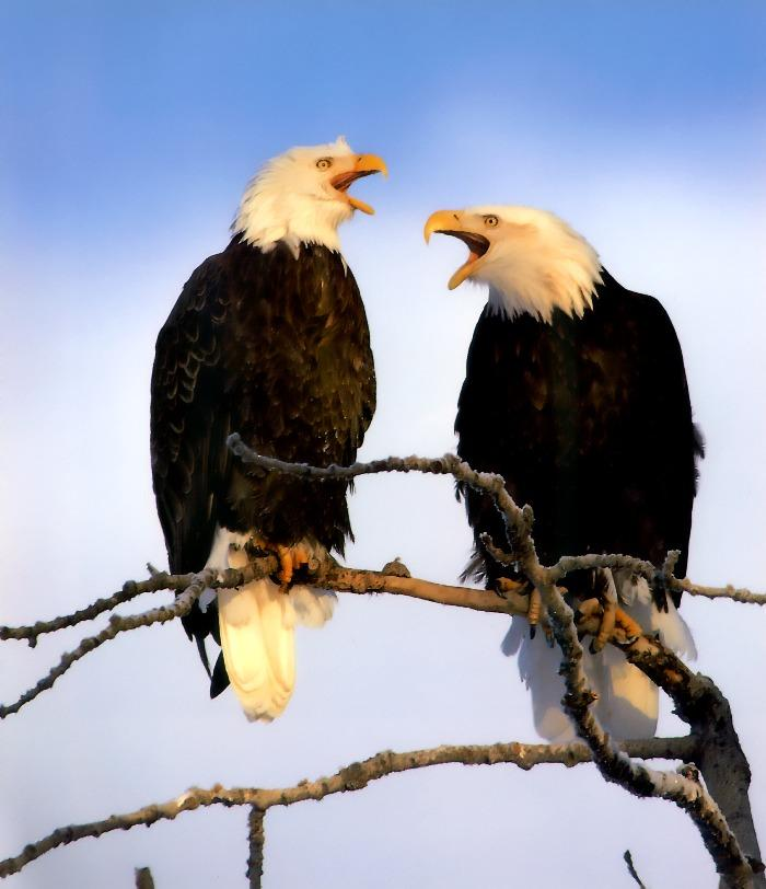 Bald Eagle (Haliaeetus leucocephalus)<!--흰머리수리--> calling pair; Image ONLY