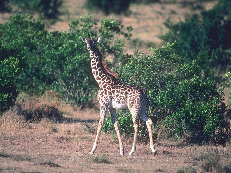 Giraffe 01-Walks into forest-looksback.jpg