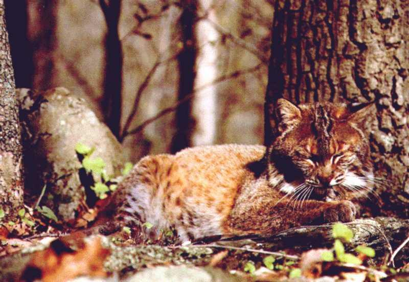 Bobcat (Lynx rufus) <!--밥캣, 붉은스라소니--> sleepy; Image ONLY