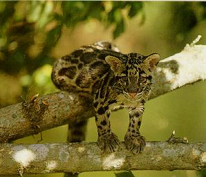 Clouded Leopard (Neofelis nebulosa)<!--운표(雲豹)/구름표범--> kit on branch; Image ONLY