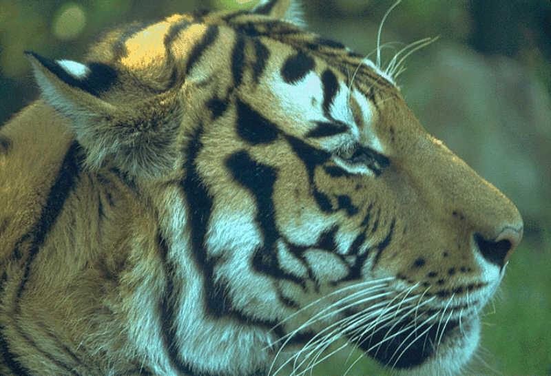 Tiger (Panthera tigris)<!--호랑이--> face; Image ONLY