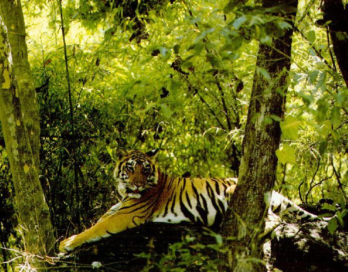 WC-03.tiger2.jpg
